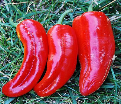 VEGETABLE SWEET PEPPER MARCONI RED 250 FINEST SEEDS