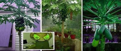 Papaya - Zimmer-Obstbaum - Besonders reich tragend - Ganzjährig Früchte ernten!