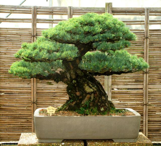 Specimen Bonsai Tree Five Needle Pine Japanese White Pine FNPST-419XX