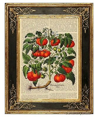 Tomatoes Art Print on Antique Book Page Vintage Illustration Garden Plant Fruits
