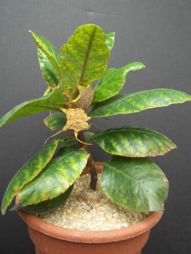 DORSTENIA CUSPIDATA rare caudex exotic africa caudiciform bonsai seed 50 SEEDS