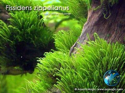 Fissidens Zippelianus # Live aquarium plant fish tank