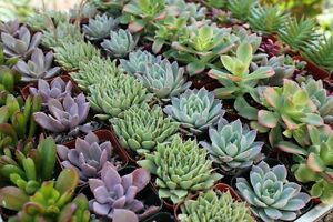64 Gorgeous ROSETTE SUCCULENT WEDDING COLLECTION plant party favors gifts