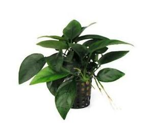 Anubias-nana-Light-36-150-72-60-48-Aquarium-Plant