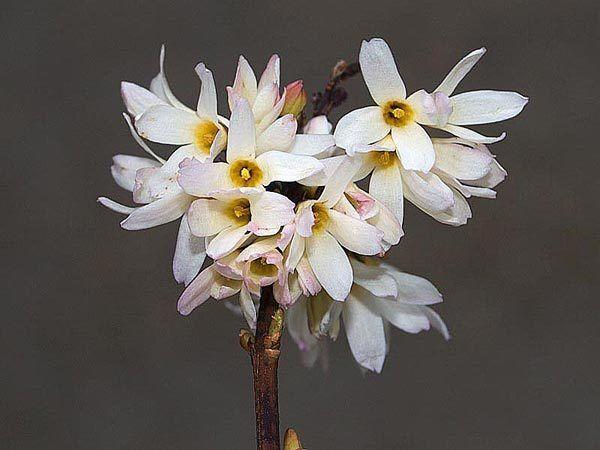 Abeliophyllum distichum Roseum (White Forsythia)  in 2L pot