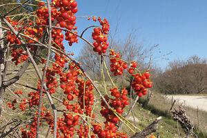American-Bittersweet-Celastrus-scandens-Vine-Seeds-Fast-Hardy-Showy