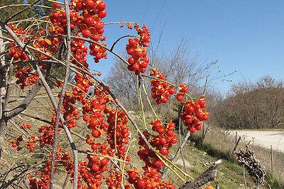 American Bittersweet, Celastrus scandens, Vine Seeds (Fast, Hardy, Showy)