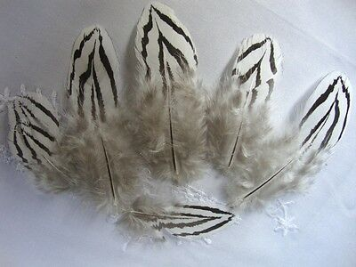 25  BEAUTIFUL SILVER PHEASANT BODY PLUMAGE FEATHERS