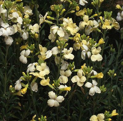 Flower - Wallflower - Ivory White - 1000 Seeds