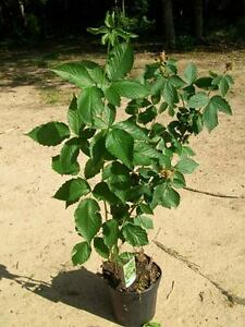 Navajo thornless blackberry plant healthy antioxidant for Garden plant information