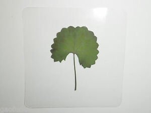 Laminated-Specimen-Asiatic-Pennywort-Leaf-in-75x75-mm-sheet
