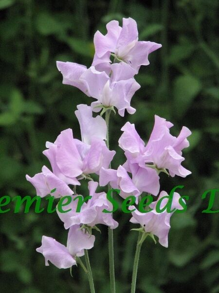 FLOWER SWEET PEA  ANDREW CAVENDISH 30 FINEST SEEDS