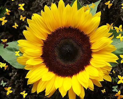 FLOWER SUNFLOWER DWARF SUNSPOT 40 FINEST SEEDS