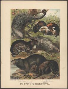 RARE Original 1880's PORCUPINE GUINEA Chromolithograph ANTIQUE Print NOT A COPY!