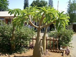 8-Semillas-Rara-Palma-de-Madagascar-PACHYPODIUM-LAMEREI-Jardin-Palmera