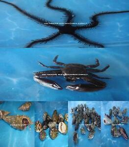 BIG-BOY-CLEANER-PKG-REEF-AQUARIUM-ALGAE-EATER-SALTWATER-FISH-TANK-FILTER