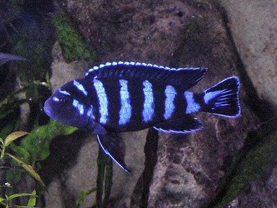 Pseudotropheus Demasoni ** Demasoni Cichlid **  Malawi 3-4cm