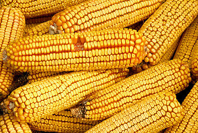 Reid's Yellow Dent Heirloom Field Corn Seeds - Multiple Quantities - Non GMO