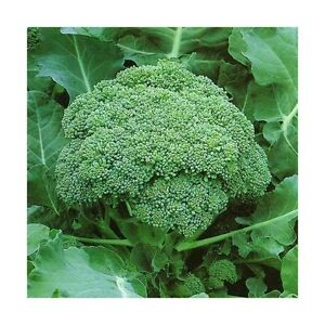 Broccoli-GREEN-SPROUTING-CALABRESE-300-Seeds-HEIRLOOM-Vegetables