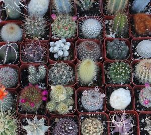 36-Thirty-Six-assorted-CACTUS-COLLECTION-LOT-CACTI-SPECIMENS