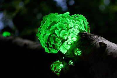 100 Panellus stipticus plug spawn Glow in the dark mushroom bioluminescent.
