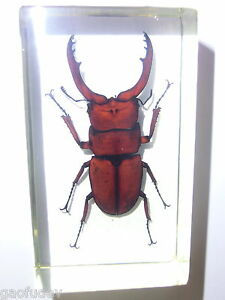 Insect-Specimen-Red-Wine-Antler-Stag-Beetle-in-clear-Lucite-Paperweight