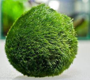 Moss Ball-t5 metal halide LED aquarium light plant O
