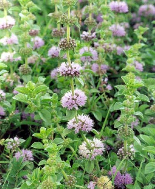 Pennyroyal x3 Plants, Herb, Beneficial Plant, Not for WA or Tas