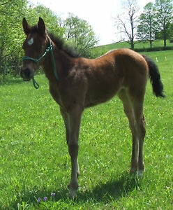 Basic-Foal-Weanling-Mini-miniature-horse-Rope-Halter