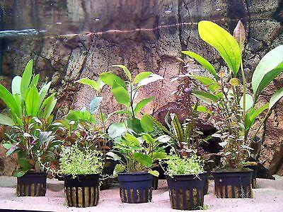 Wasserpflanzen Aquariumpflanzen Topfpflanzen Bundpflanzen  Nano Aquaristik Set 3