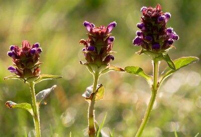 Wild Flower - Self Heal - Prunella vulgaris - 1000 Seed