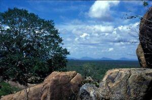 Rock-Splitting-Tree-African-Rock-Fig-Fresh-Seeds