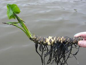 как сделать прудик для лилии появления зубов