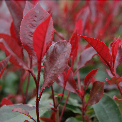 Photinia Little Red Robin Small Evergreen Shrub
