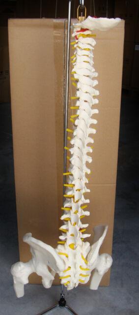 Model Anatomy Professional Educational Medical Vertebral Pelvis Femur Heads