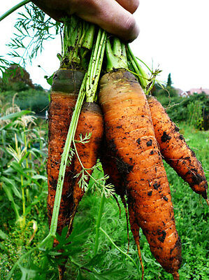 ORGANIC VEGETABLE  CARROT  AUTUMN KING 2  4GM ~ 3600 SEEDS