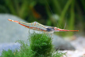 RED-NOSE-RHINO-SHRIMP-Caridina-gracilirostris-BEAUTIFUL-3-4cm