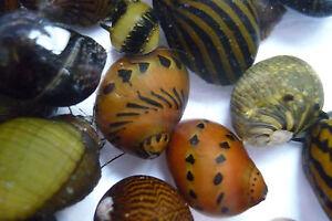 Neritina-Species-Algae-Eating-Snails-Aquatic-Aquarium-Fish-Tank-TO019
