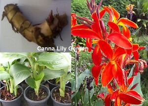 rouge feu vert feuille canna lily 3 ampoules plante tropicale fra ches et viable no cg017 ebay. Black Bedroom Furniture Sets. Home Design Ideas