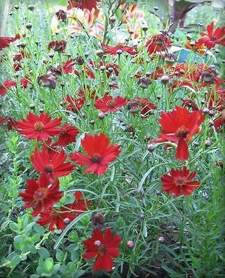 50 MAHOGANY MIDGET COREOPSIS Tinctoria Red Dwarf Flower Seeds + Gift & Comb S/H