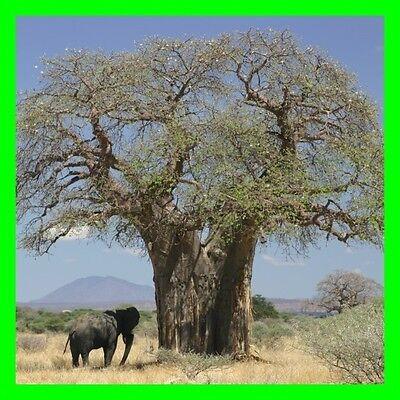 Affenbrotbaum - Adansonia digitata - 5 Samen