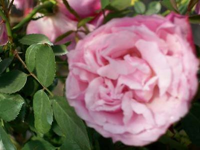 Old Blush Lilac Pink Rose 3 Gal. Bush Landscaping Plants Shrubs Plant Roses
