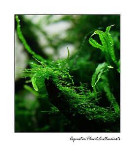 Live-Aquarium-Plants-Moss-on-Mesh-Easy-EU-Grown-High-Quality-All-Species