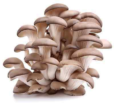 Mushroom Spawn Seeds - Various Seeds Oyster - King - Shiitake - Reishi - Nemko