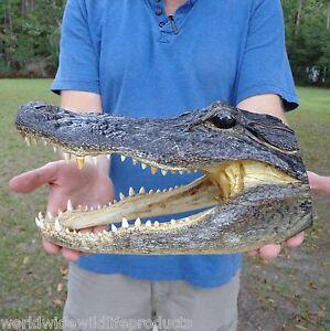 Reptiles Alligators