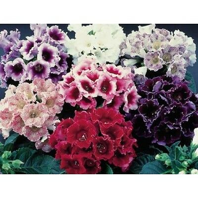 FLOWER GLOXINIA (SINNINGIA) EMPRESS F1 MIX  250 PILLS / PELLETED SEEDS BULK