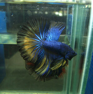 Betta-Bettas-Halfmoon-Male-Actual-live-by-Bettagenetic