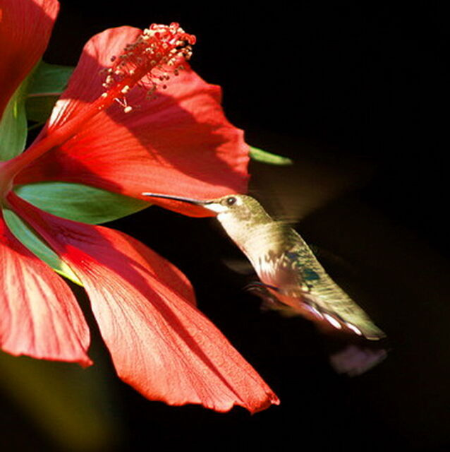 30-Seeds __GIANT RED TEXAS STAR HIBISCUS__Hummingbirds Love__Hardy to Zone 6