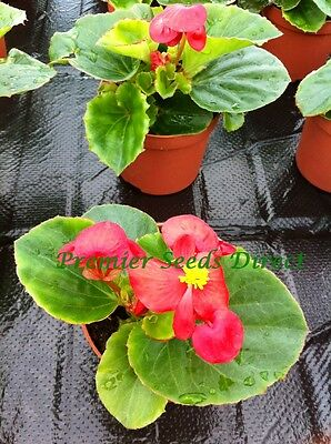 FLOWER BEGONIA SEMPERFLORENS HEAVEN RED F1 80 PILLS / PELLETS