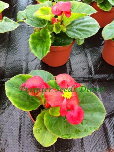 Flor De Begonia semperflorens F1 Cielo Rojo 800 Pastillas//Gránulos a granel